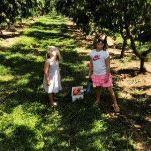 u-pick peaches at Barnstool Orchards