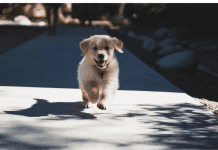 puppy pandemic